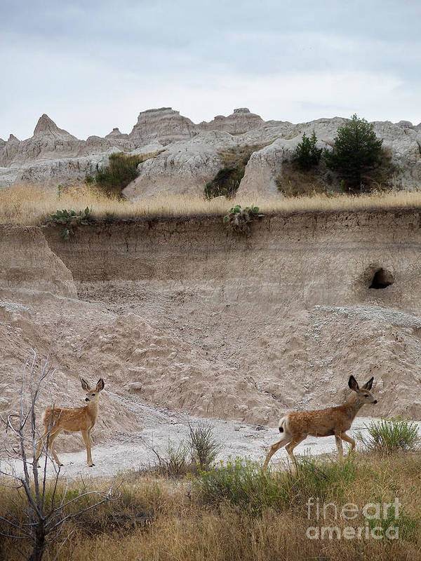 Badlands Poster featuring the photograph Badlands Deer Sd by Tommy Anderson