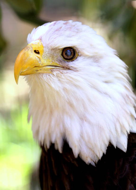 Bald Eagle Poster featuring the photograph Bald Eagle 1 by Imagery-at- Work