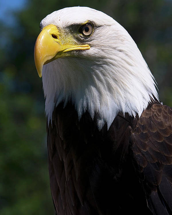 Skyhunter Poster featuring the photograph Bald Eagle by JT Lewis