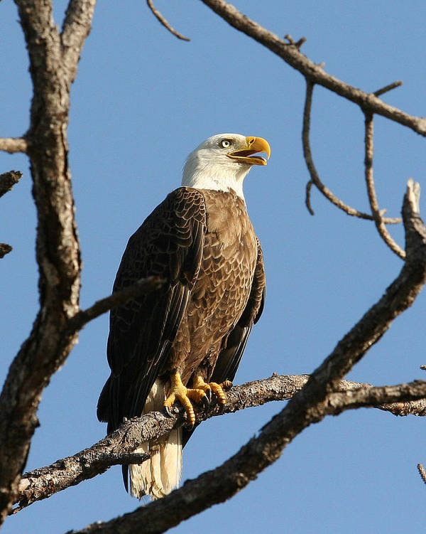 Bald Eagle Poster featuring the photograph Bald Eagle On Pine Island by Lynn Berreitter