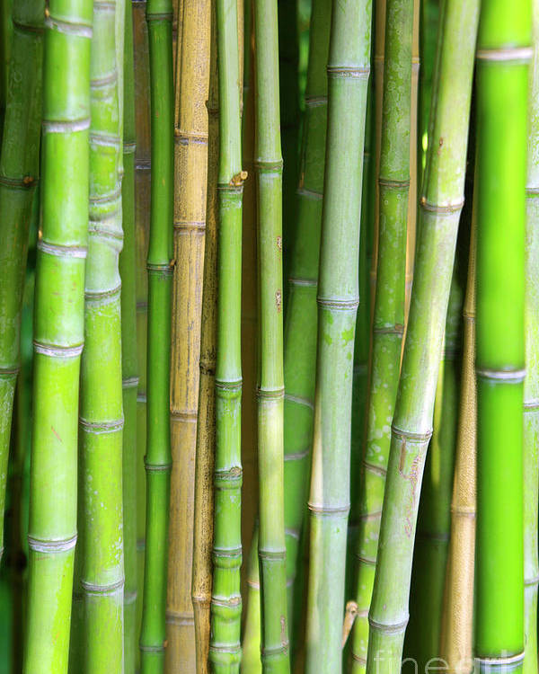 Asian Poster featuring the photograph Bamboo Background by Carlos Caetano