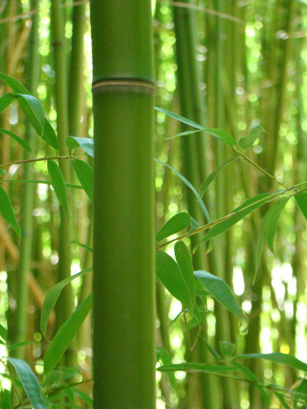 Bamboo Poster featuring the photograph Bamboo by Rhianna Wurman