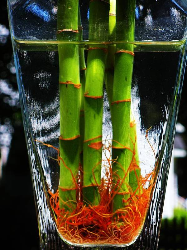 Vase Poster featuring the photograph Bamboo Roots 2 by Alex Santos
