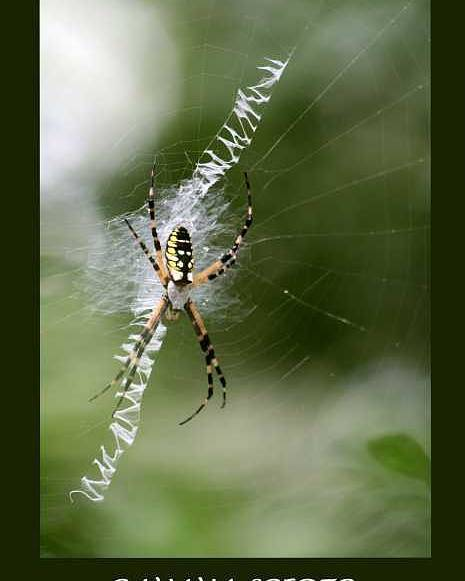 Spiders Poster featuring the photograph Banana Spider by Linda Ebarb