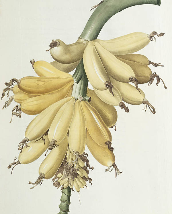 Banana Poster featuring the drawing Bananas by Pierre Joseph Redoute