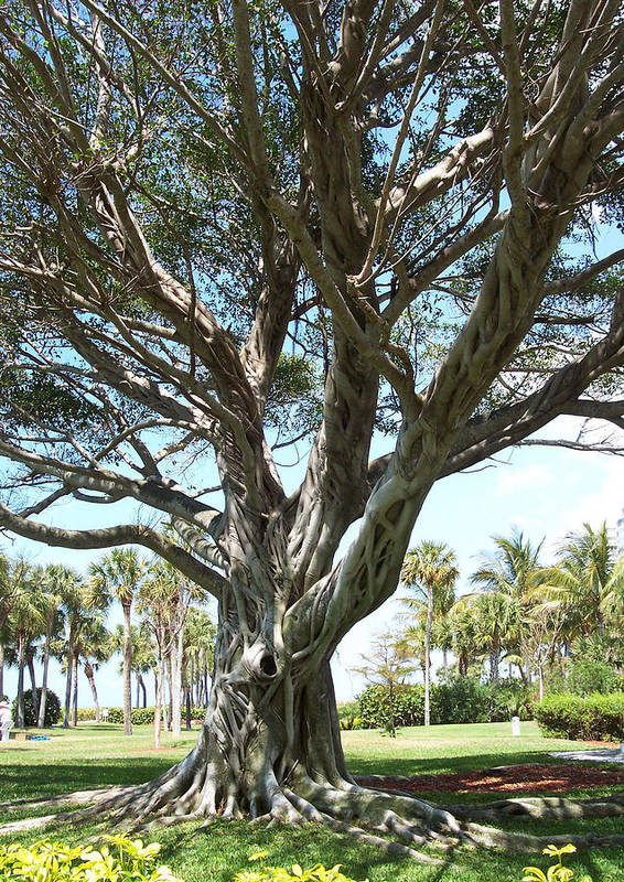 Florida Poster featuring the photograph Banyan Tree by Anna Villarreal Garbis
