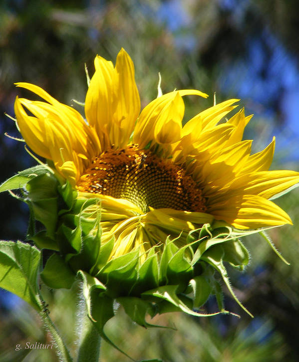Sunflower Poster featuring the photograph Bashfull by Gail Salitui