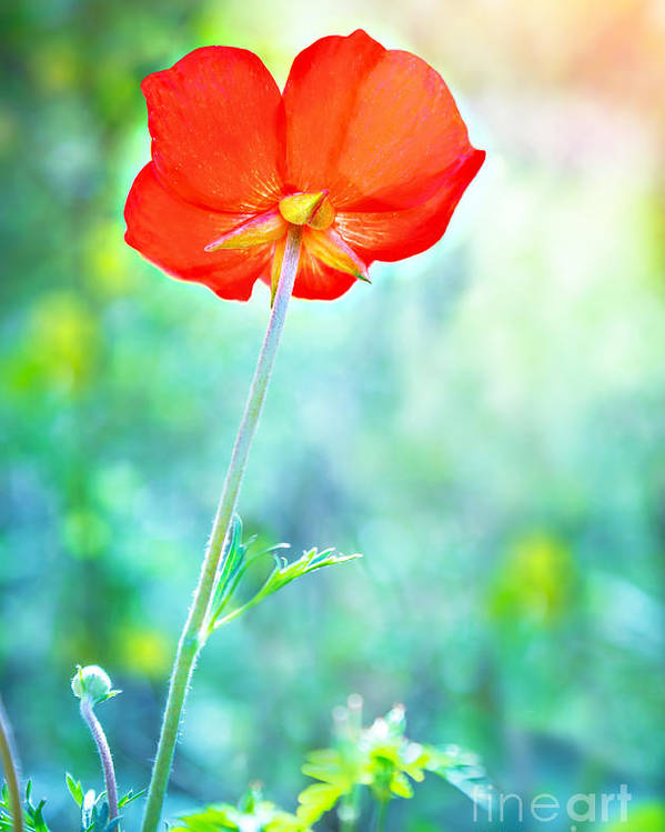 Background Poster featuring the photograph Beautiful Poppy Flower by Anna Om