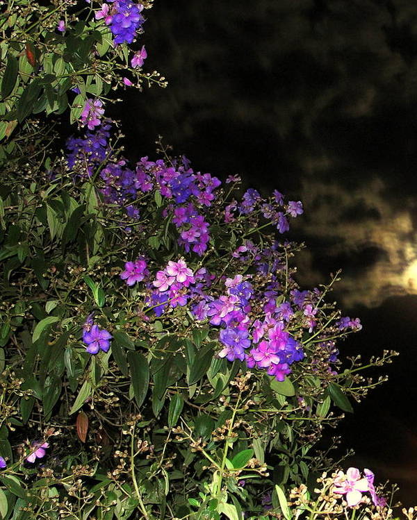 Flowers Poster featuring the photograph Beauty In The Night Time by Carmen Cordova