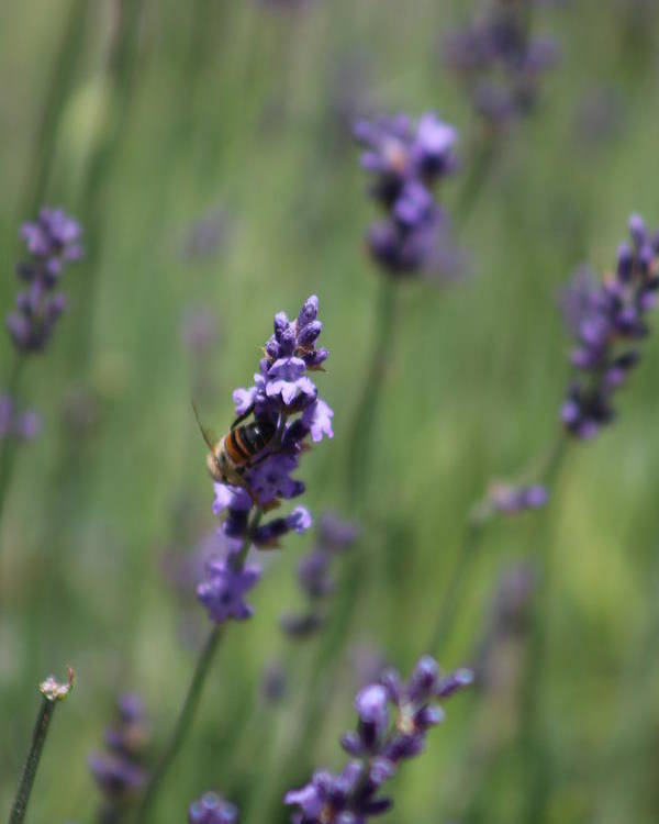 Deep Purple Lavender Poster featuring the photograph Bee on Deep Purple Lavender Spike by Colleen Cornelius