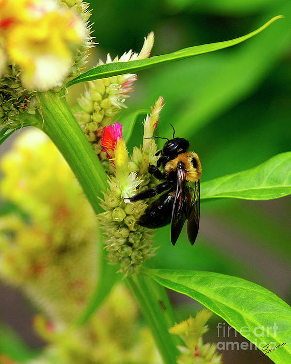 Nature Poster featuring the photograph Bee On Flower by Susan Cliett