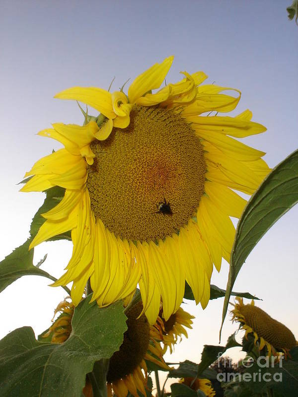 Bee On Sunflower Poster featuring the photograph Bee On Sunflower 5 by Chandelle Hazen