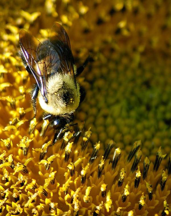 Bees Poster featuring the photograph Bee On Sunflower by Bob Guthridge