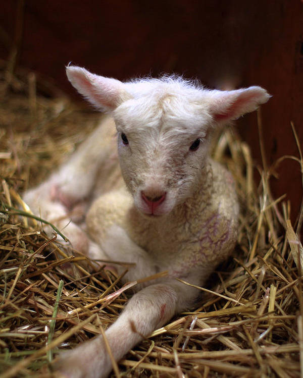Lamb Poster featuring the photograph Behold The Lamb by Linda Mishler