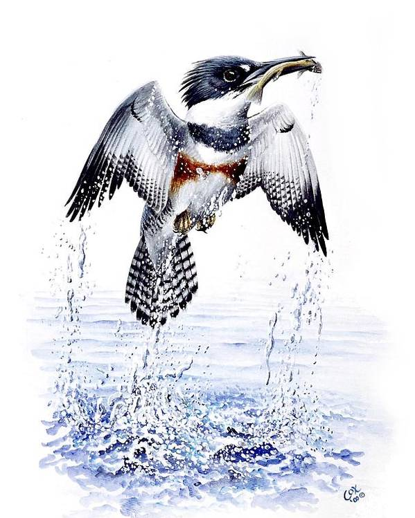 Chris Cox Poster featuring the painting Belted Kingfisher by Christopher Cox
