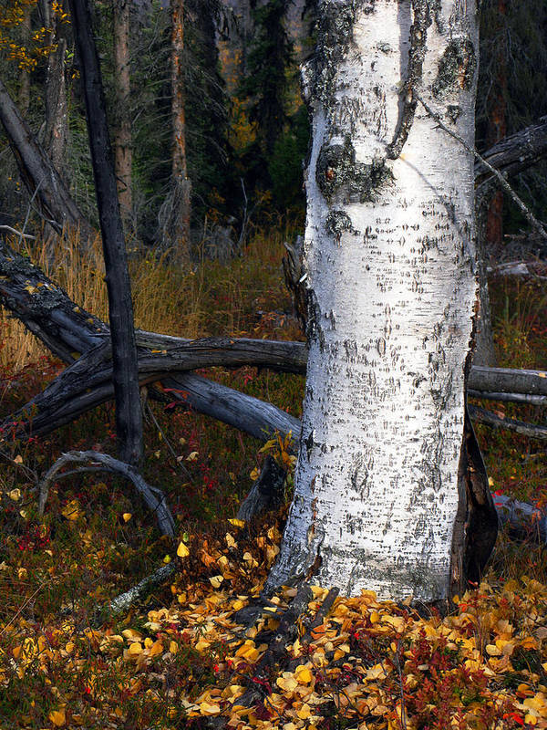 Autumn Poster featuring the photograph Birch Autumn 3 by Ron Day