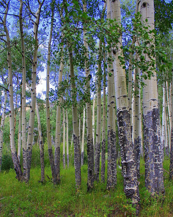 Landscape Poster featuring the photograph Birch Forest by Julie Lueders