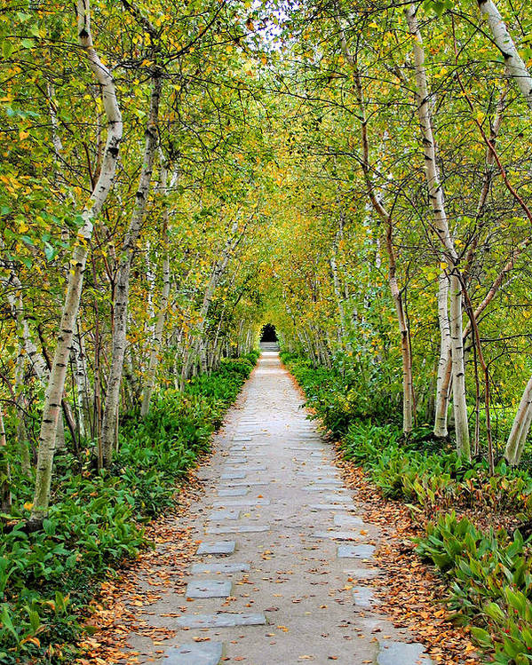 Pathway Poster featuring the photograph Birch Pathway Perspective by Kristin Elmquist