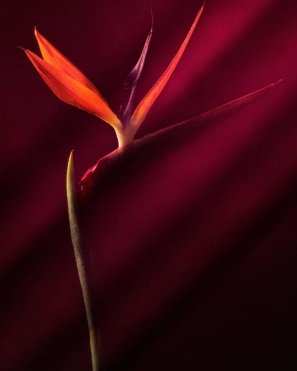 Bird Of Paradise Poster featuring the photograph Bird Of Paradise 1 by Joseph Gerges
