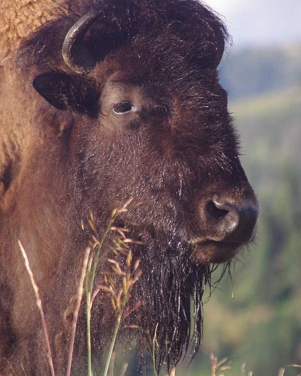Photography Poster featuring the photograph Bison Contemplating by Michelle Fairchild