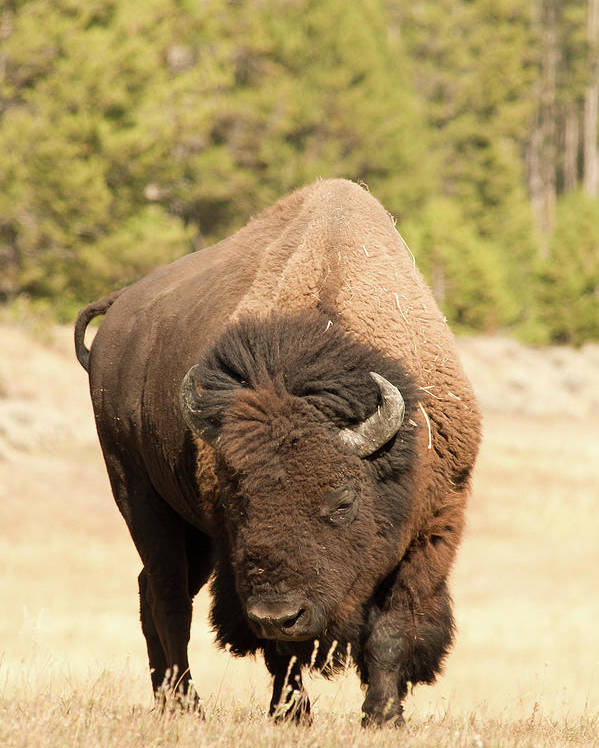 Vertical Poster featuring the photograph Bison by Corinna Stoeffl, Stoeffl Photography