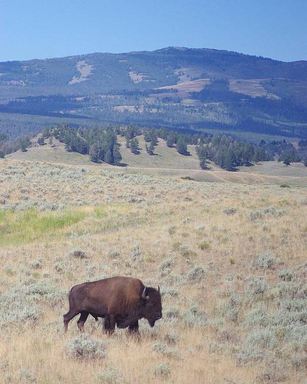 Photography Poster featuring the photograph Bison Trail by Michelle Fairchild