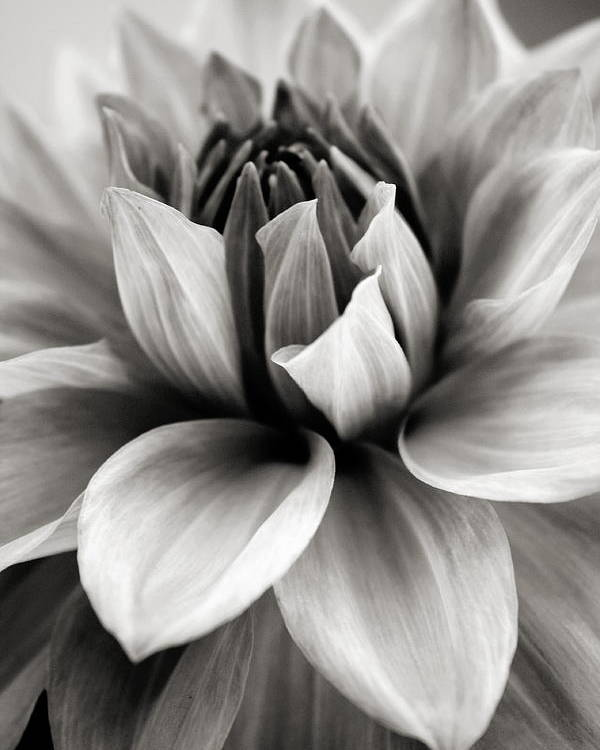 Bw Poster featuring the photograph Black And White Dahlia by Danielle Miller