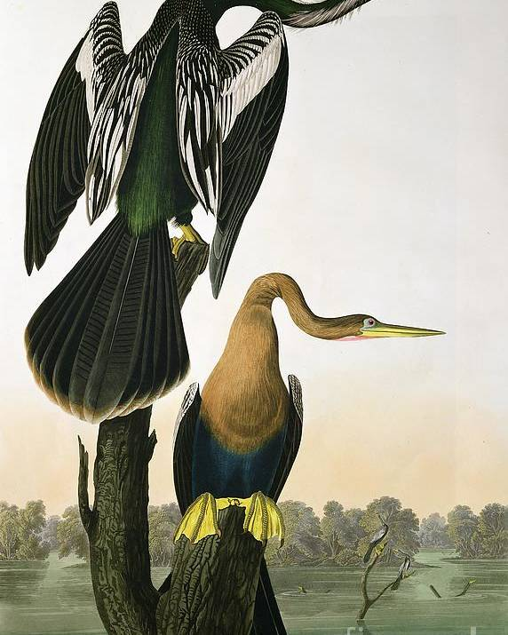 Black-billed Darter Poster featuring the drawing Black Billed Darter by John James Audubon