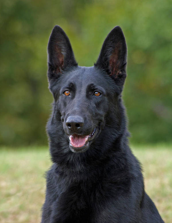 German Shepherd Poster featuring the photograph Black German Shepherd Dog by Sandy Keeton