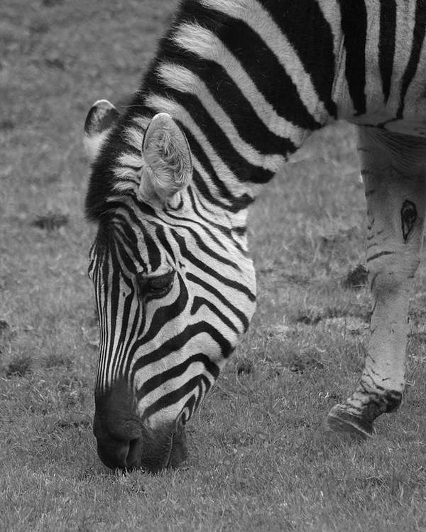 Zebra Poster featuring the photograph Black N White Stripes by Sonja Anderson