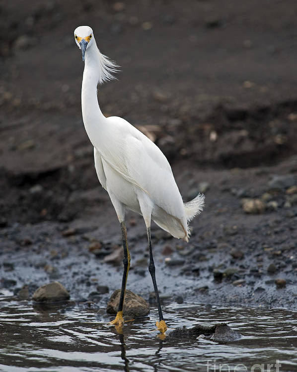 Snowy Egret Poster featuring the photograph Blond Beauty.. by Nina Stavlund