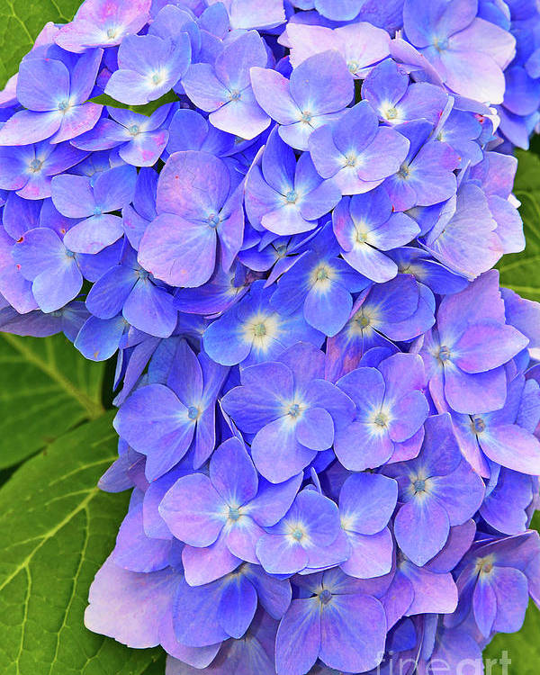 Hydrangea Blossom Poster featuring the photograph Blooming Blue Hydrangea by Regina Geoghan