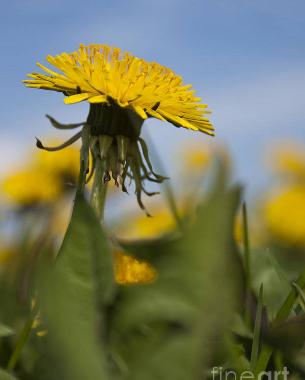 Background Poster featuring the photograph Blooming Dandelion Flower by Dan Radi