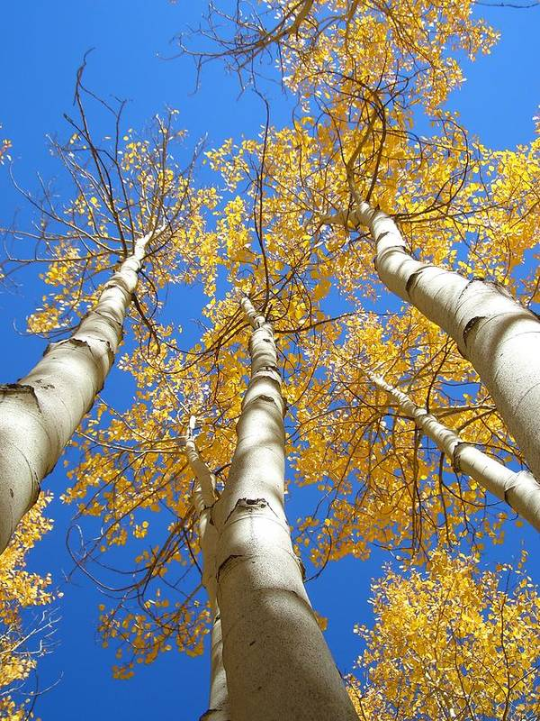 Trees Poster featuring the photograph Blue And Gold by Brian Anderson
