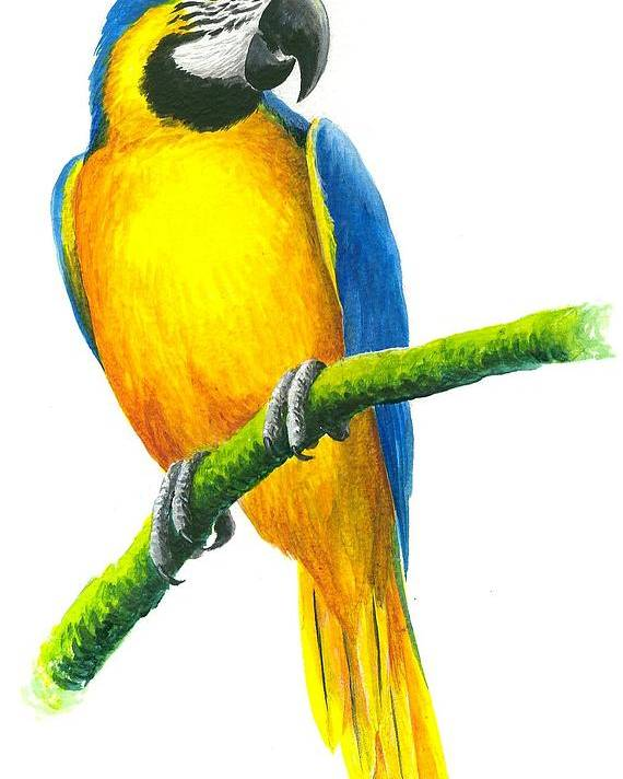 Chris Cox Poster featuring the painting Blue And Gold Macaw by Christopher Cox