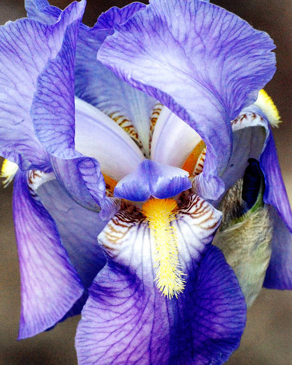 Iris Poster featuring the photograph Blue Bearded Iris by Mark Wiley