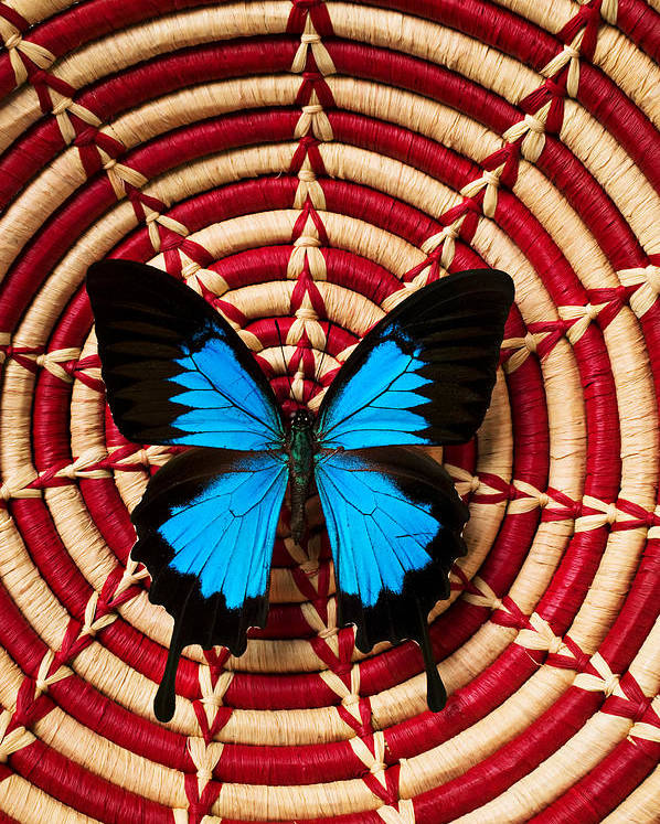 Butterfly Poster featuring the photograph Blue Black Butterfly In Basket by Garry Gay