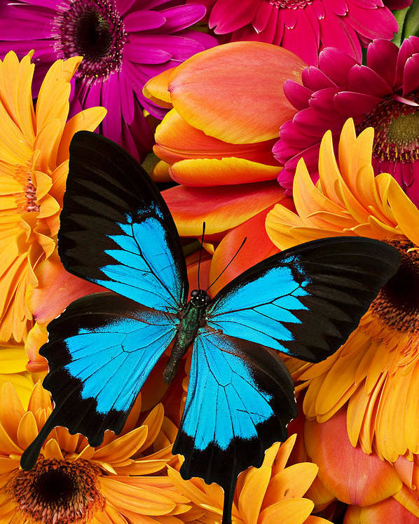 Butterfly Tulips Daisy�s Poster featuring the photograph Blue Butterfly On Brightly Colored Flowers by Garry Gay