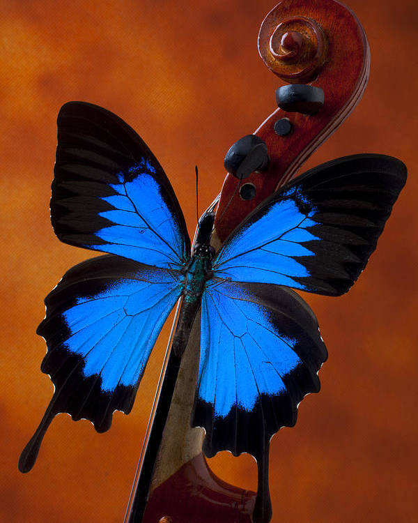 Blue Butterfly Poster featuring the photograph Blue Butterfly On Violin by Garry Gay
