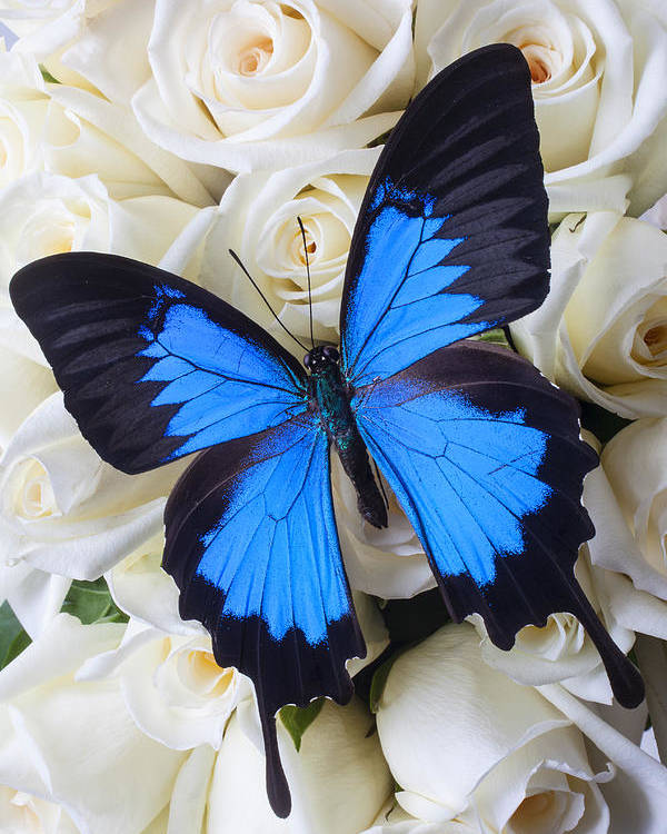 Blue Butterfly Poster featuring the photograph Blue Butterfly On White Roses by Garry Gay