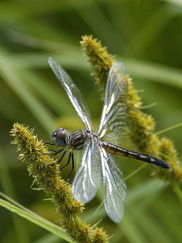 Dragonfly Poster featuring the photograph Blue Dasher Dragonfly-female by Neil Doren
