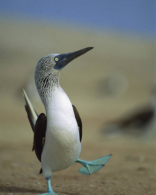 Blue-footed Booby Poster featuring the photograph Blue-footed Booby Sula Nebouxii by Tui De Roy