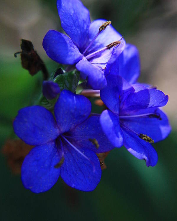 Blue Flowers Poster featuring the photograph Blue For The Sun by Mandy Shupp