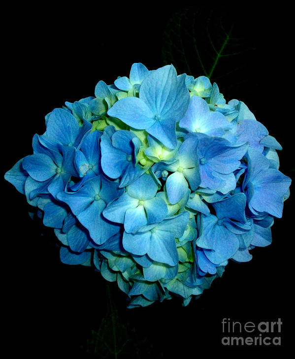 Hydrangea Poster featuring the photograph Blue Hydrangea by H Cooper
