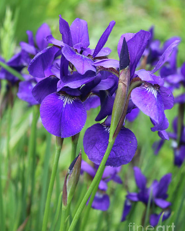 Irises Poster featuring the photograph Blue Irises by Carol Groenen