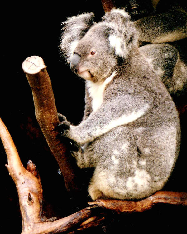Koala Poster featuring the photograph Blue Mountains Koala by Darren Stein