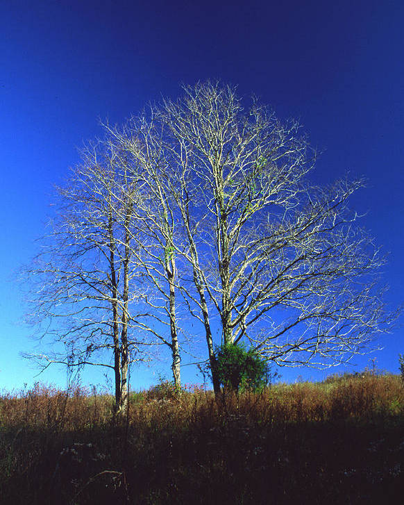 Landscape Poster featuring the photograph Blue Tree In Tennessee by Randy Oberg