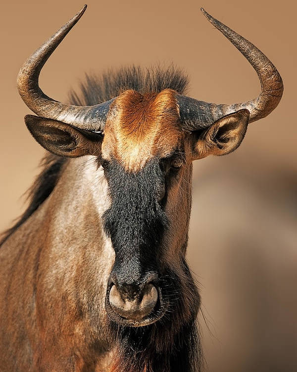 Wildebeest Poster featuring the photograph Blue Wildebeest Portrait by Johan Swanepoel