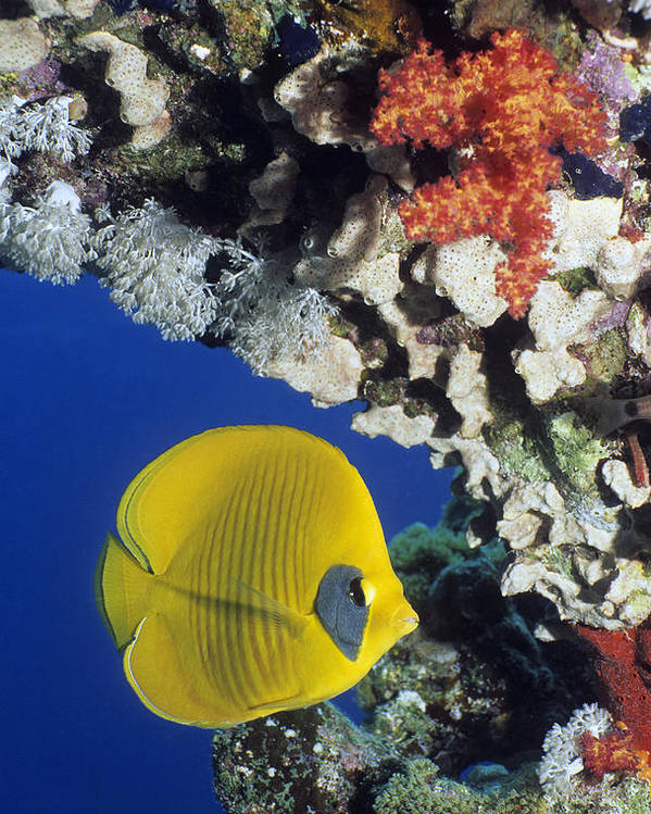 Chaetodon Semilarvatus Poster featuring the photograph Bluecheek Butterflyfish by Georgette Douwma
