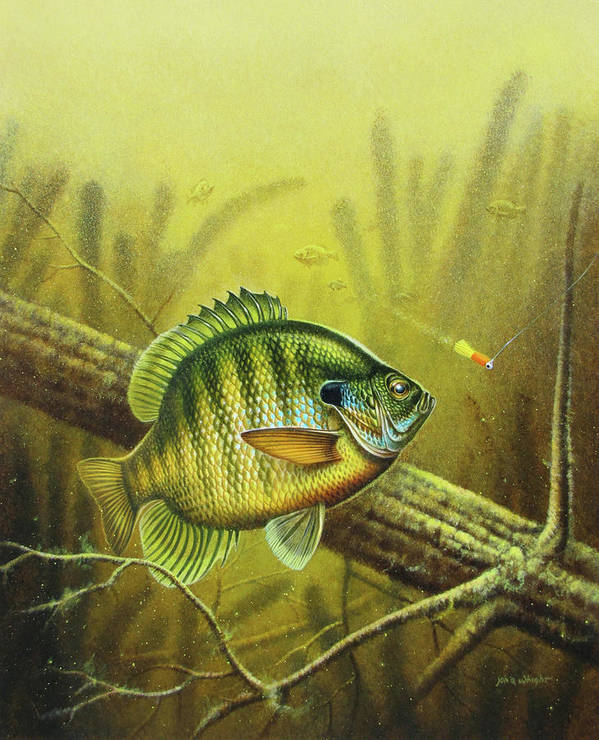 Jon Q Wright Poster featuring the painting Bluegill And Jig by JQ Licensing